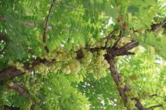 Świeża gwiazdowa agrestowa owoc Zdjęcia Stock