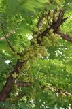 Świeża gwiazdowa agrestowa owoc Obraz Royalty Free