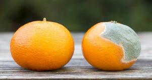 Świeża i pleśniowa pomarańczowa mandarynka, sieć sztandar obraz royalty free