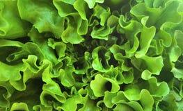 Świeża i zielona sałata Zdjęcia Royalty Free