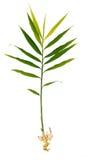 Świeża imbirowa roślina odizolowywająca na bielu zdjęcie stock