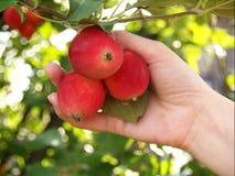 świeża jabłko czerwień Zdjęcia Royalty Free