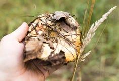 Świeża jadalna pieczarka w ręce w lesie Fotografia Royalty Free