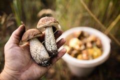 Świeża jadalna pieczarka w ręce w lesie Zdjęcie Royalty Free