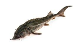 Świeża jesiotr ryba odizolowywająca na bielu Obrazy Stock