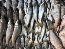 Świeża jezioro wody ryba Zdjęcia Royalty Free
