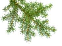 Świeża jodły gałąź na białym tle Iglasty drzewo - fest Zdjęcia Royalty Free