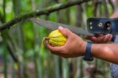 Świeża Kakaowa owoc w rolnik rękach Organicznie cacao owoc - zdrowy jedzenie Cięcie surowy kakao wśrodku Amazon tropikalnego lasu Obraz Royalty Free