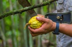 Świeża Kakaowa owoc w rolnik rękach Organicznie cacao owoc - zdrowy jedzenie Cięcie surowy kakao wśrodku Amazon tropikalnego lasu Obrazy Stock