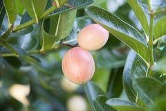 Świeża karonda owoc wapna jagodowy obwieszenie na śniadanio-lunch, rozmyty wizerunek obraz royalty free