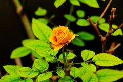 Świeża kolor żółty róża na czarnym tle Obraz Royalty Free