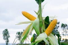Świeża kukurudza na drzewie Zdjęcie Stock