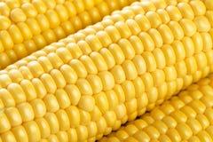 świeża kukurydza Zdjęcie Royalty Free