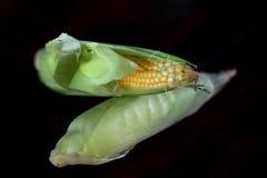 świeża kukurydza Obraz Stock