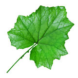 Świeża liść wycinanka Zdjęcia Stock