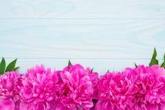 Świeża magenta peonia kwiatów rama na błękitnym tle Zdjęcie Stock