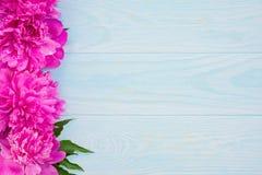Świeża magenta peonia kwiatów rama na błękitnym tle Fotografia Stock