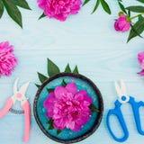 Świeża magenta peonia kwitnie z ogrodowymi strzyżeniami i pruner na błękitnym tle Mieszkanie nieatutowy Zdjęcie Stock