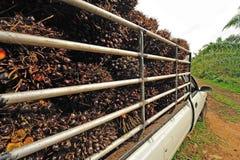 Świeża olej palmowy owoc od ciężarówki. Obrazy Royalty Free