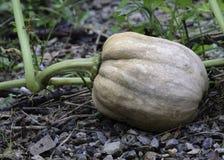 Świeża organicznie bania. Zdjęcie Stock
