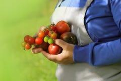 Świeża Organicznie czerwień, kolor żółty, pomarańcze i zieleń pomidor, Kolorowi organicznie pomidory w rolnik rękach Obraz Stock