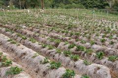 Świeża organicznie truskawki roślina Zdjęcie Stock