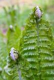 Świeża paproć fryzująca opuszcza w lasowych paprociach otwiera w wiośnie z bliska obraz stock