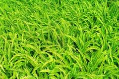 świeża paproci zieleń Zdjęcie Stock