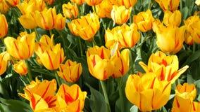 Świeża piękna ampuła nasycający niezwykli żółci tulipanów kwiaty kwitną w wiosna ogródzie Dekoracyjny tulipanowy kwiatu okwitni?c zbiory wideo