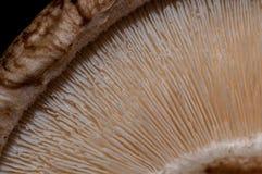 Świeża pieczarka - Makro- widok Fotografia Royalty Free