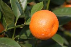 Świeża pomarańcze na roślinie, pomarańczowy drzewo Zdjęcia Royalty Free