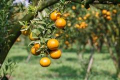 Świeża pomarańcze na roślinie, Pomarańczowy drzewo. zdjęcie stock