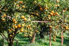 Świeża pomarańcze na roślinie, pomarańczowy drzewo. obraz royalty free
