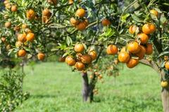 Świeża pomarańcze na roślinie, Pomarańczowy drzewo. fotografia stock