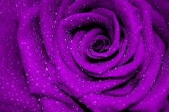 Świeża purpury róża z otwartymi płatkami zakrywającymi Fotografia Royalty Free