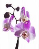 Świeża różowa orchidea Obraz Stock