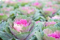 Świeża różowa zielona kapusta Zdjęcia Stock