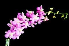 Świeża rżnięta orchidea Zdjęcie Stock