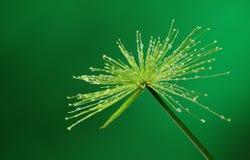 Świeża roślina z wodnymi kroplami Zdjęcia Stock