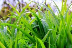 Świeża rosa na zielonej trawy zbliżeniu Obrazy Royalty Free