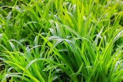Świeża rosa na zielonej trawy zbliżeniu Fotografia Royalty Free