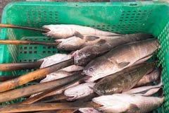 Świeża ryba dla zasklepiającego grilla Zdjęcie Stock