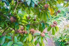 Świeża słodka sapodilla owoc z liśćmi na drzewie Zdjęcia Stock