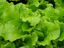 Świeża sałata, prosta od ogródu obrazy stock