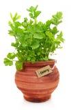Świeża selerowa roślina zdjęcia stock