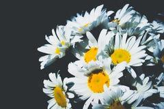 Świeża stokrotka kwitnie na czarnym tle zdjęcia stock