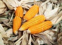 Świeża surowa kukurudza po żniwa Obraz Royalty Free