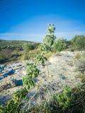 Świeża surowa mędrzec w górze Dzikiej mędrzec ziele r na polu Greccy ziele Fotografia Stock