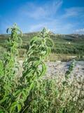 Świeża surowa mędrzec w górze Dzikiej mędrzec ziele r na polu Greccy ziele Zdjęcia Stock