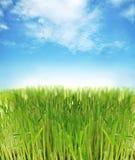świeża trawa Obraz Royalty Free